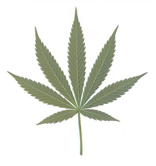 Cannabis leaf grown in London 1999.